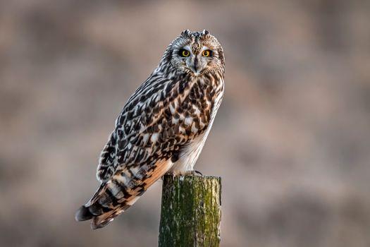 Photo free owl, pillar, owl letite