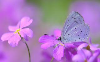 Фото бесплатно пурпурные цветы, бабочки, размытый фон