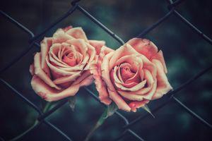 Розы и ограждение