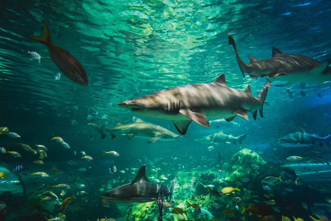 Фото бесплатно Морские обитатели, Акулы, Акула, море, морское дно, подводный мир