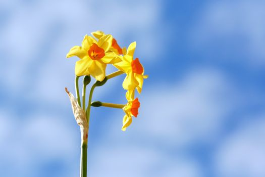 Photo free flowers, yellow, narcissus