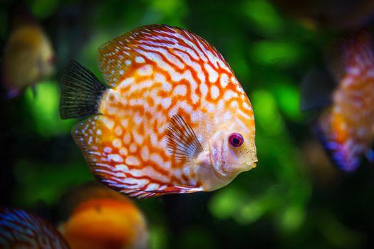 Фото бесплатно рыба, подводный, дискус