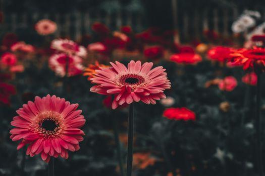 Цветок гербера