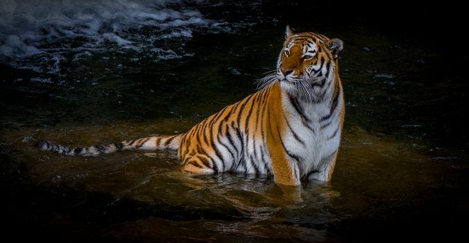 Тигр сидит в воде · бесплатное фото