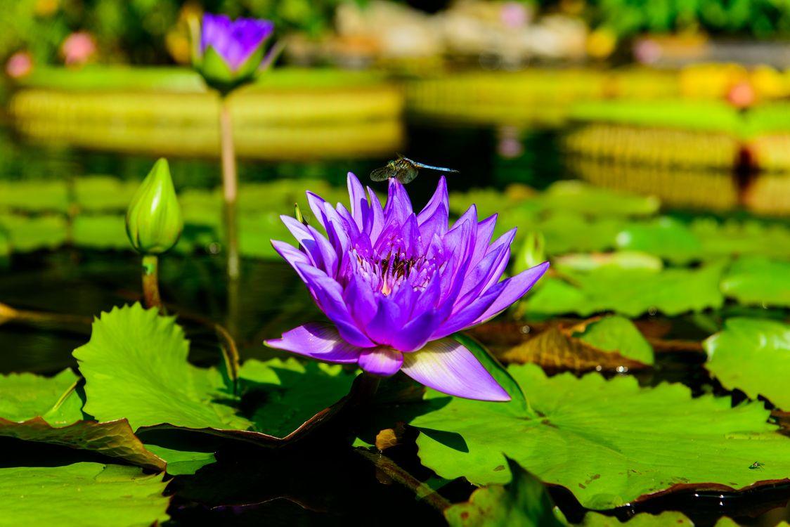 Фото бесплатно Water Lilies, водяная лилия, водяные лилии, водоём, цветы, цветок, флора, водяная красавица, красивый цветок, красивые цветы, цветы
