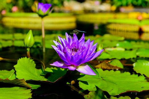 Photo free beautiful flower, pond, water lily
