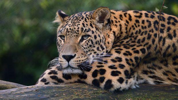 Photo free leopard, sullen, lies