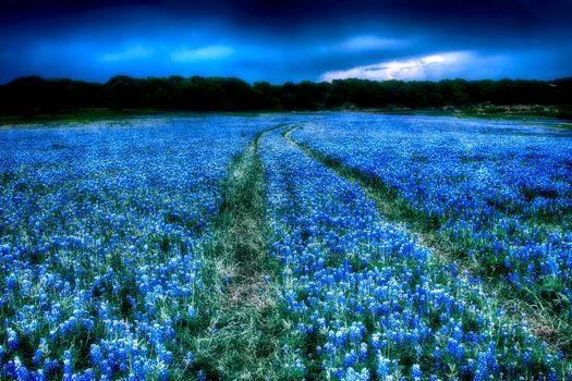 Фото бесплатно поле, цветы, люпин