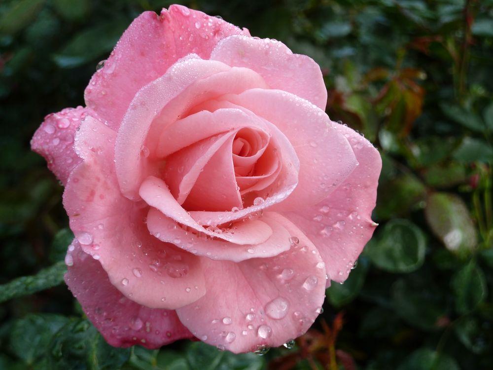 Картинки розы красивые мила