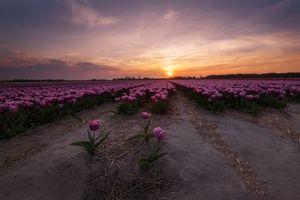 Бесплатные фото Тюльпаны в Нидерландах,поле,закат,цветы,тюльпаны,пейзаж