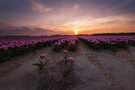 Photo free flowers, Tulips in the Netherlands, field