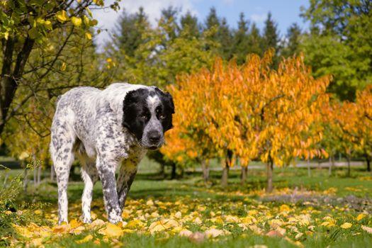 Фото бесплатно собака, лист, осень