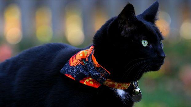 Photo free black cat, looking away, bokeh