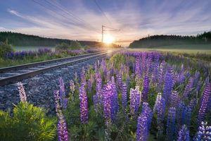Бесплатные фото закат, поле, железная дорога, цветы, люпины, пейзаж