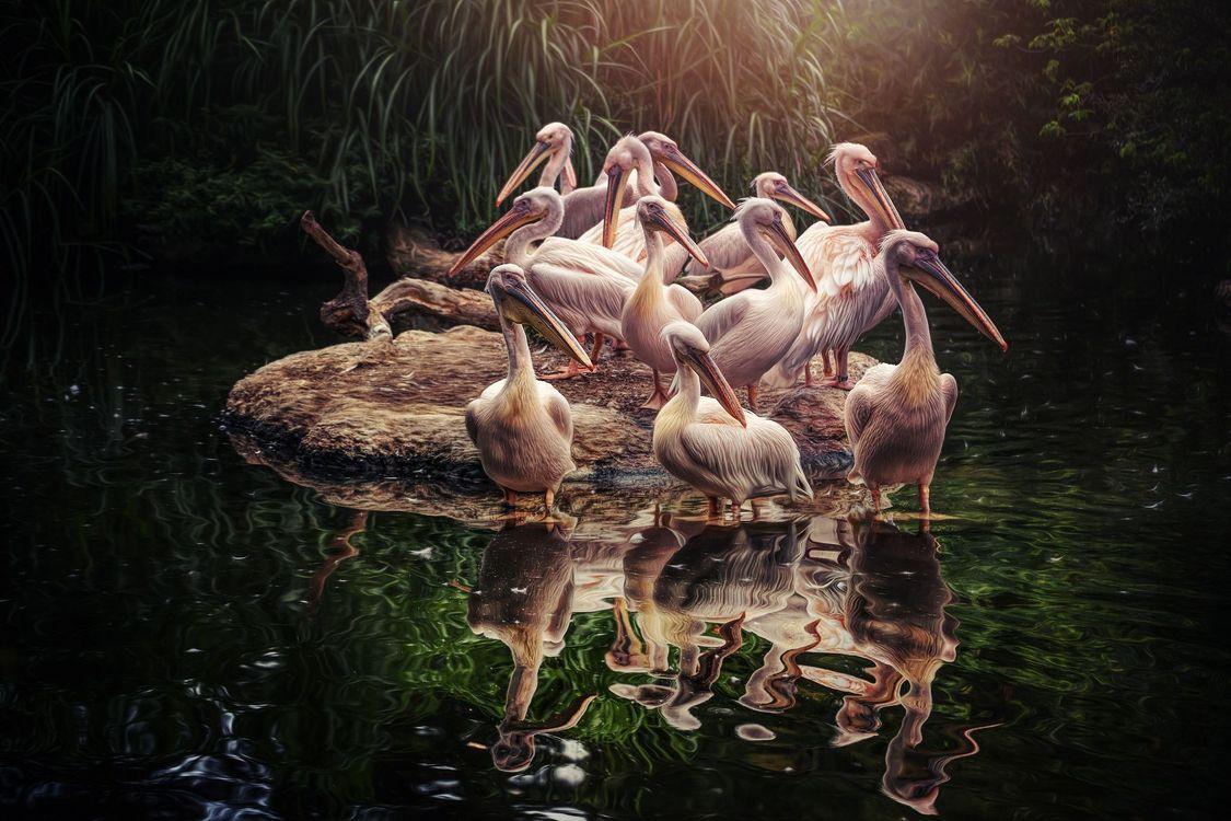 Обои пеликаны, водоём, птицы картинки на телефон
