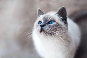 Бесплатные фото кошка с голубыми глазами,взгляд,cat,blue,eyed,look