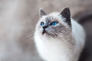 Photo free cat with blue eyes, look, cat