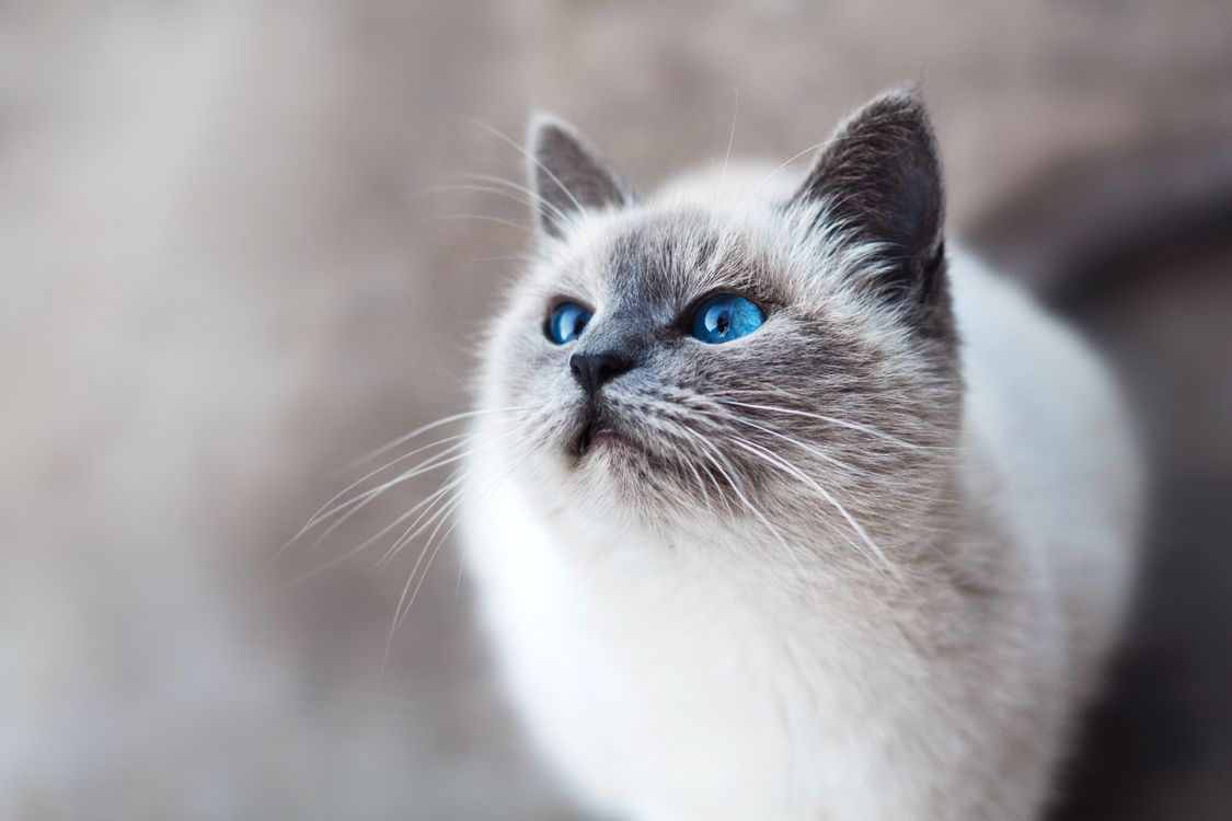 Photos for free cat with blue eyes, look, cat - to the desktop