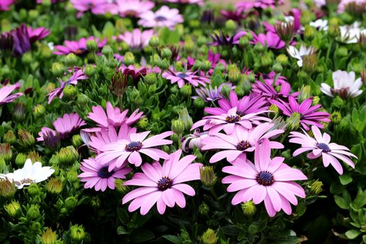Photo free flowers, osteospermum, violet