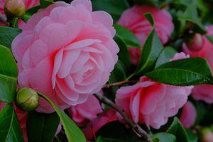 Бесплатные фото камелия,цветок,цветы,цветочный,цветочная композиция,флора,красивые