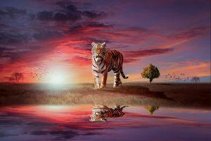 Заставки тигр, хищник, поле