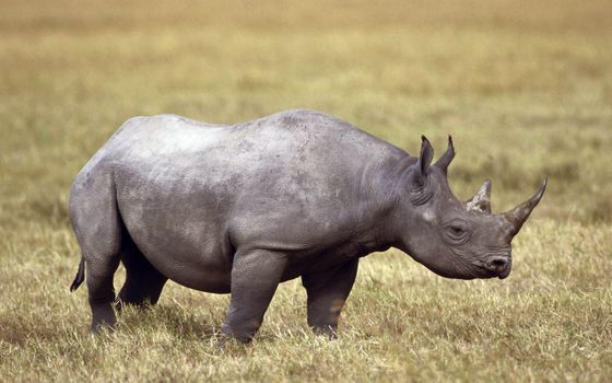 Photo free field, horns, rhino