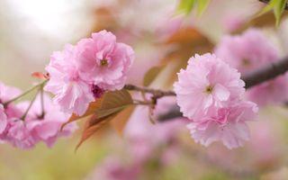 Фото бесплатно цветы, ветвь, вишни