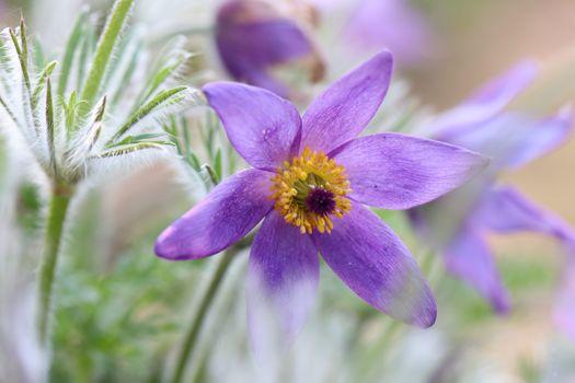 Photo free flowers, violet, pulsatilla