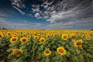 Бесплатные фото поле,подсолнухи,цветы,флора,пейзаж