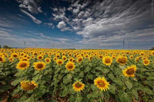 Фото бесплатно подсолнухи, поле подсолнухов, большое поле