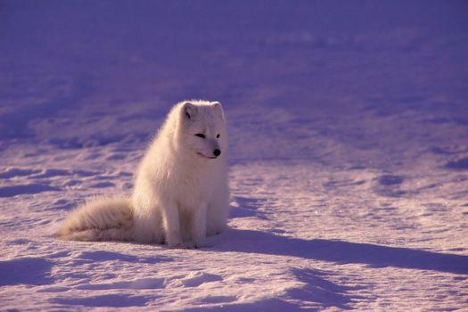 Фото бесплатно белая лиса, сидя, милые