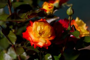 Красно-жёлтая роза · бесплатное фото