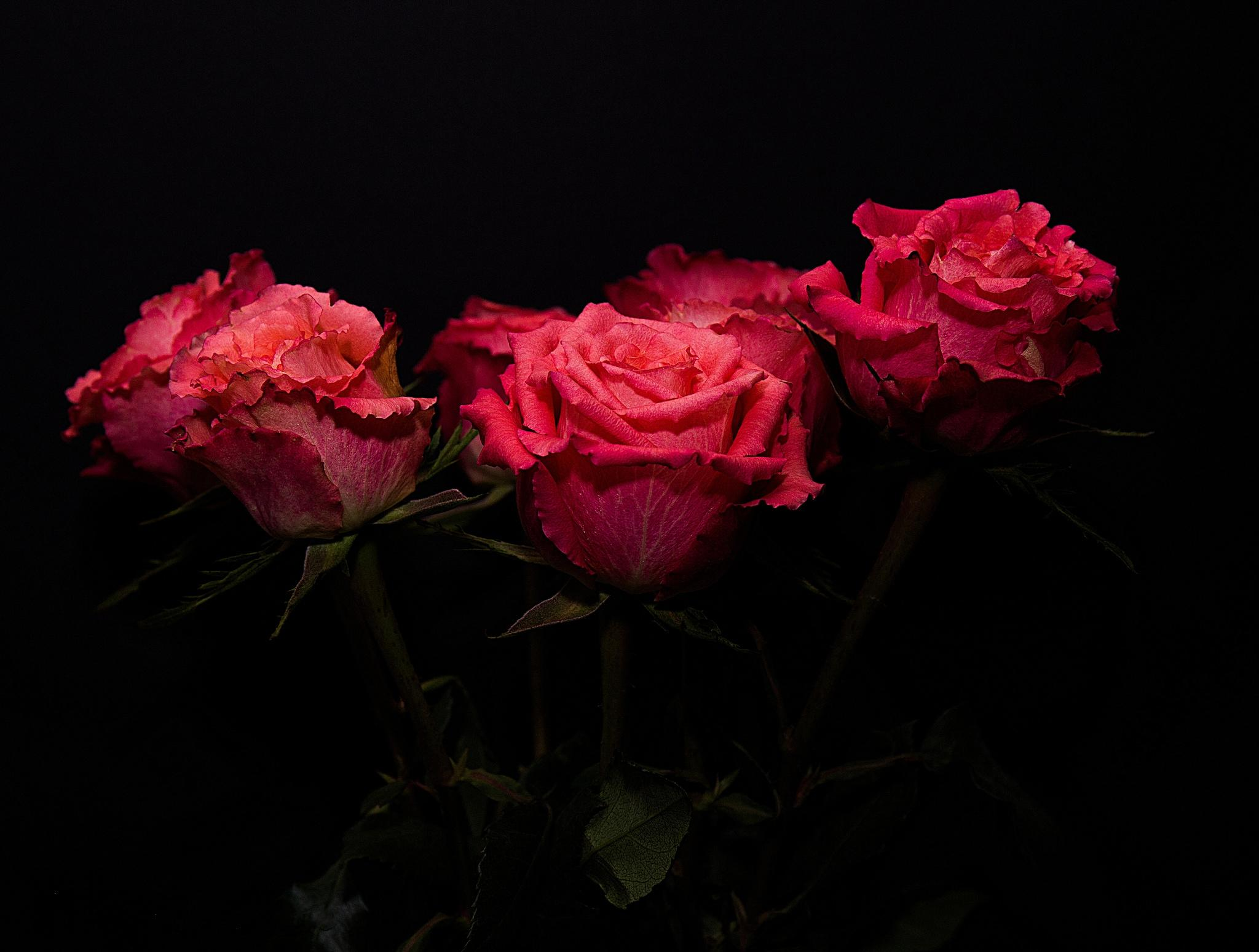 розы, чёрный фон, цветы, флора