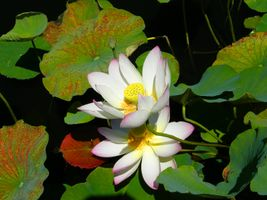 Фото бесплатно флора, красивый цветок, лотосы