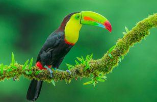 Фото бесплатно тропические птицы, Toucan, птица