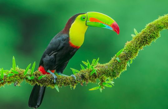 Photo free tropical bird, Toucan, bird
