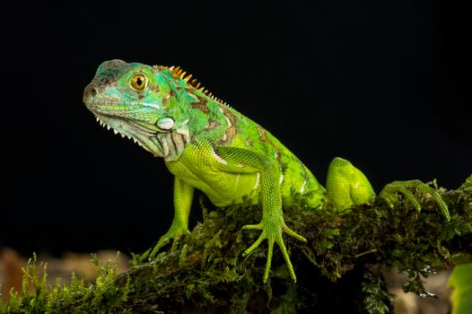 Photo free Green Iguana, lizard, reptile