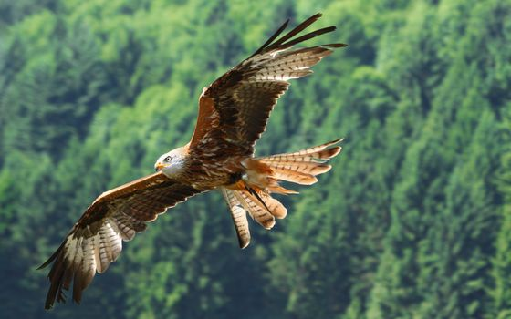 Photo free Eagle flying over a forest, feathers, wings