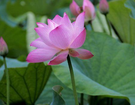 Капли дождя на цветке лотоса