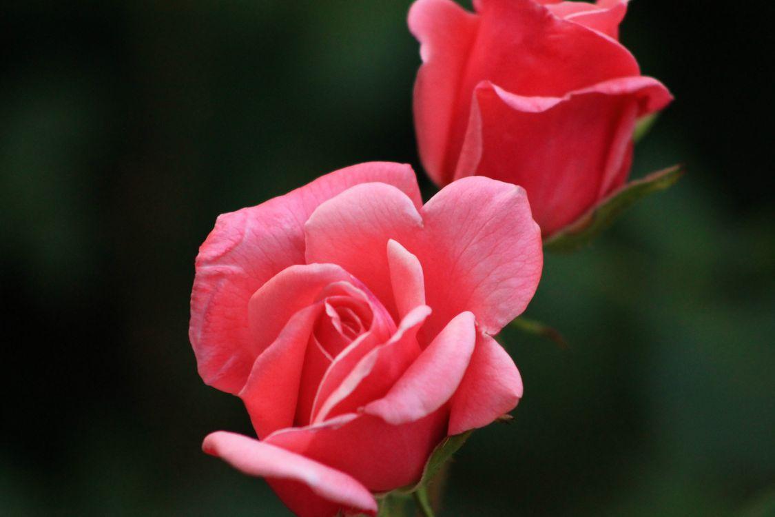 Photo pink floribunda petal - free pictures on Fonwall