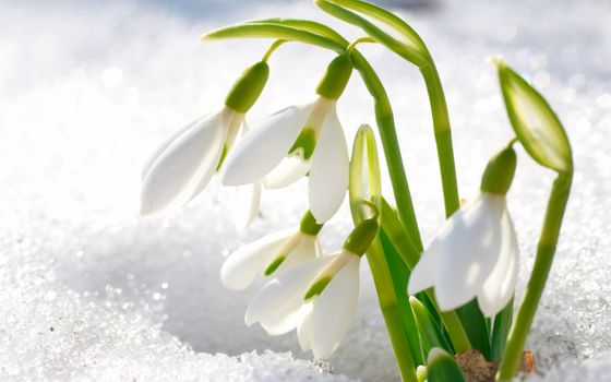 A snowdrop day · free photo