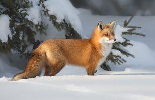 Заставки зима, лиса, лисица