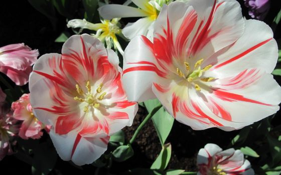 Photo free strange tulips, white and red, petals