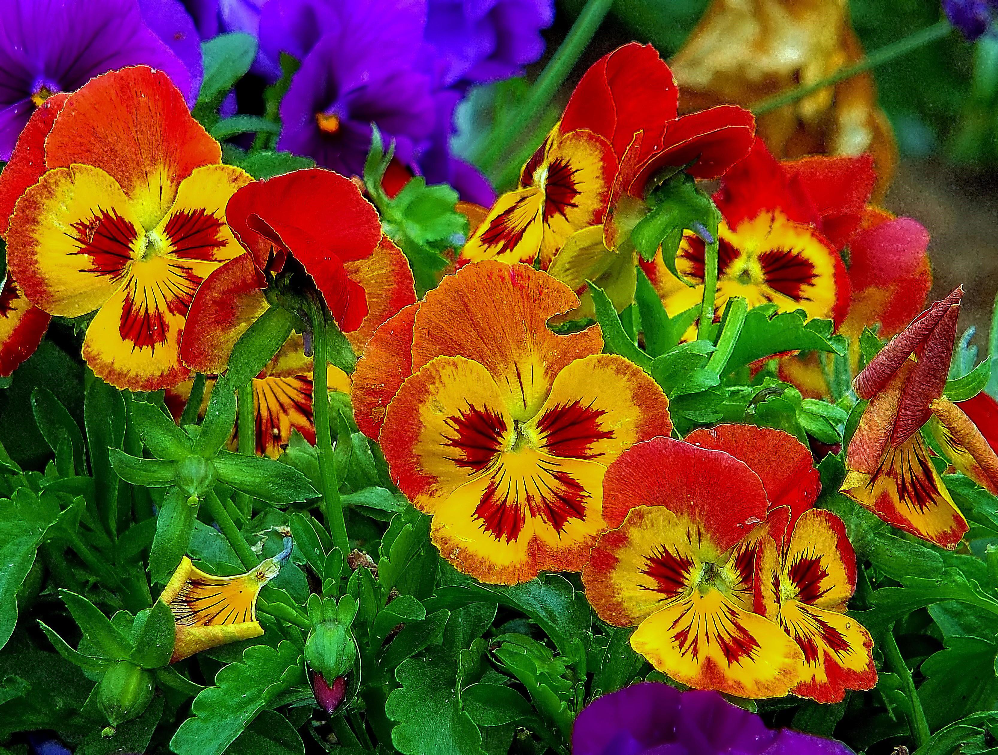 Обои Анютины глазки, Виола, Фиалки, цветы