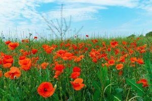Photo free field, flowers, poppies