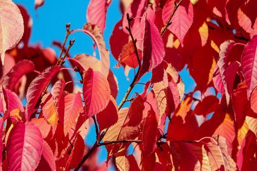 Фото бесплатно вишня, алый, листья