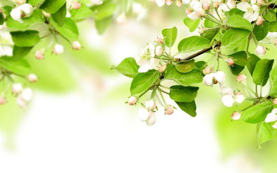 Фото бесплатно листья, ветви, недозрелый