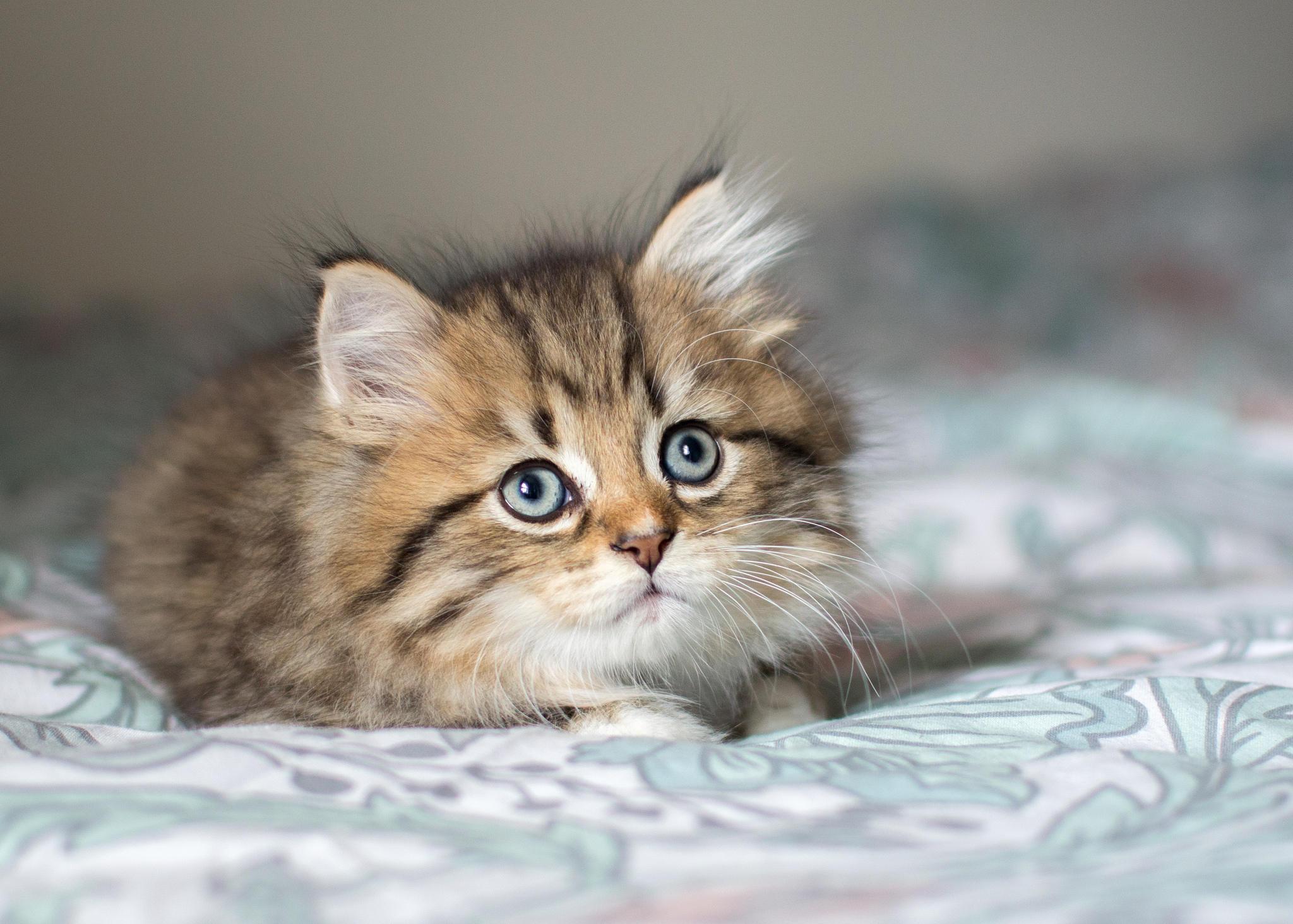 Обои котёнок, кот, кошка, животное