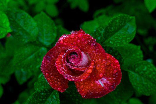 Photo free rose, drops, dew