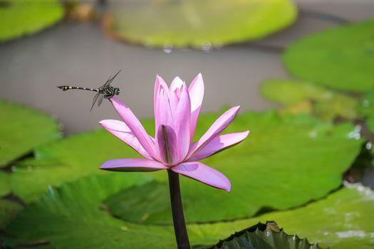 Download free water lilies, flowers screensaver